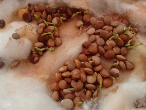 semina fasei (1)